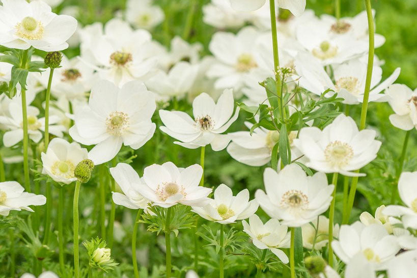 White Anemone Bulbs