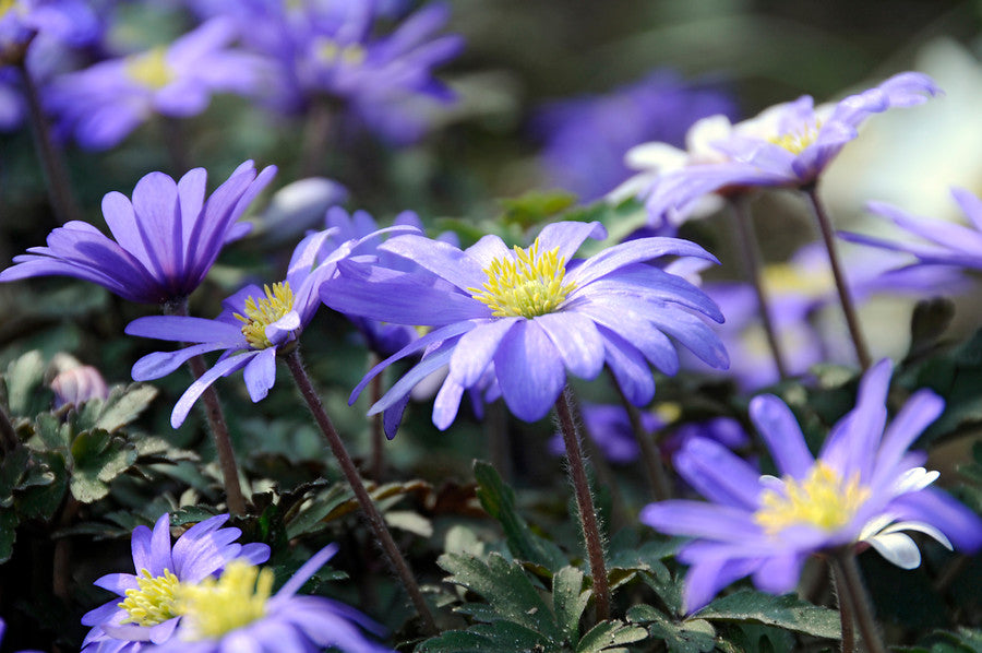 Blue Anemone Blanda Bulbs