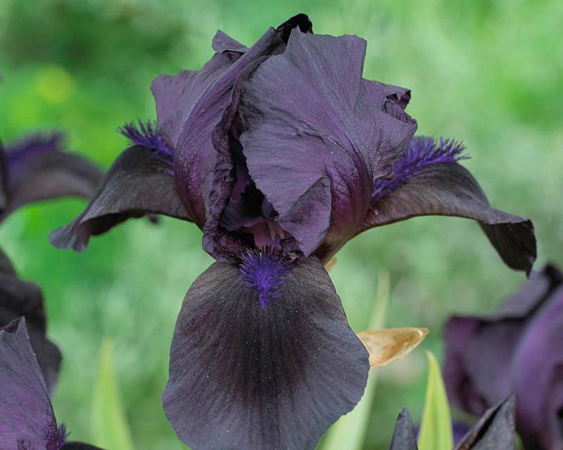 Bearded Iris Royal Satin