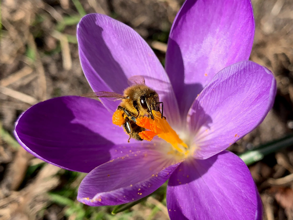 Bee-friendly flower bulbs for bees