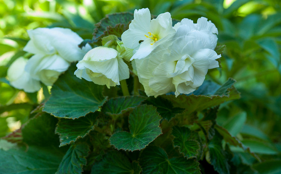 White Begonia Bulbs