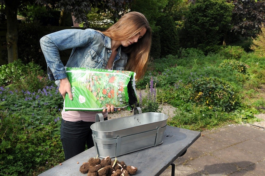 Planting Begonia Tuberous Bulbs in Pots