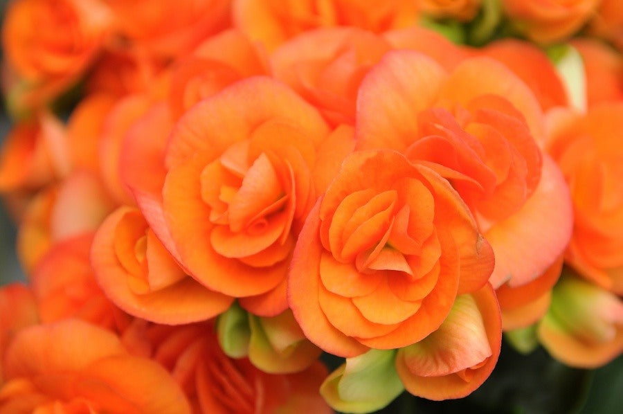Orange Begonia Bulbs