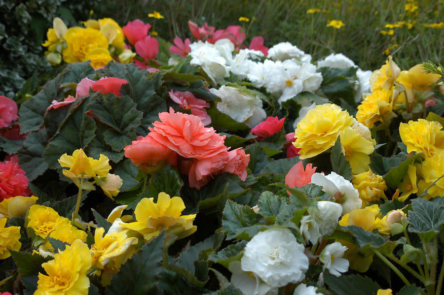 Mixed Coloured Begonia Bulbs
