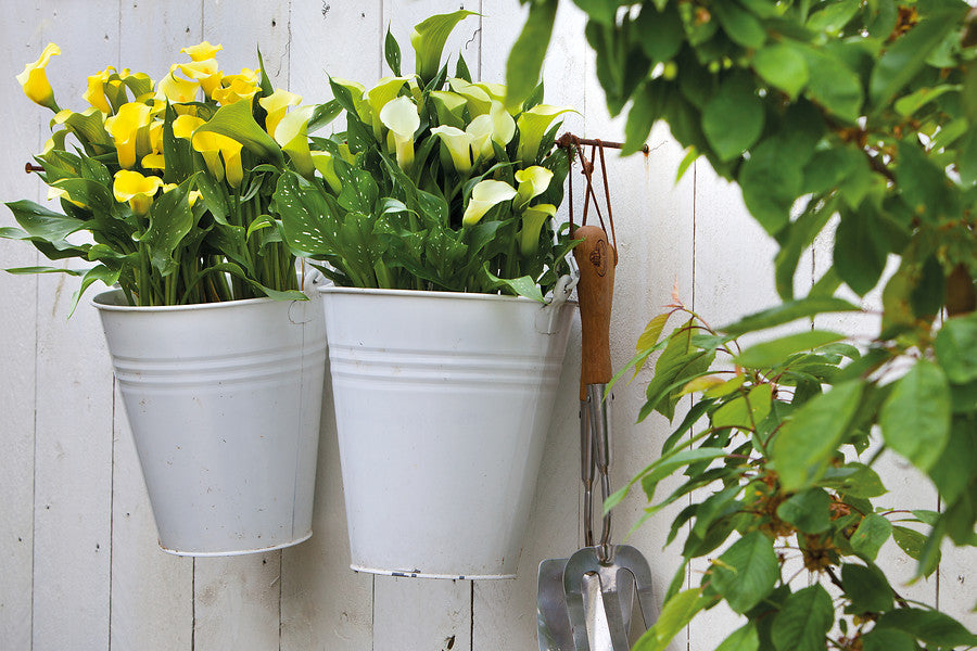 Calla Bulbs in containers