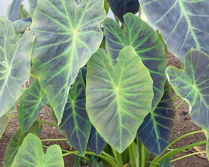 Colocasia bulbs