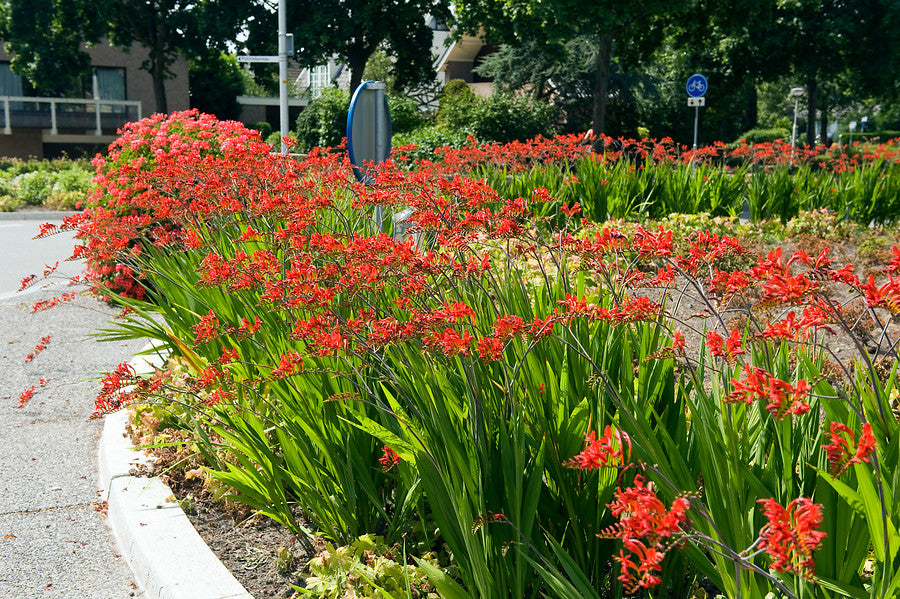 Red crocosmias at roundabout