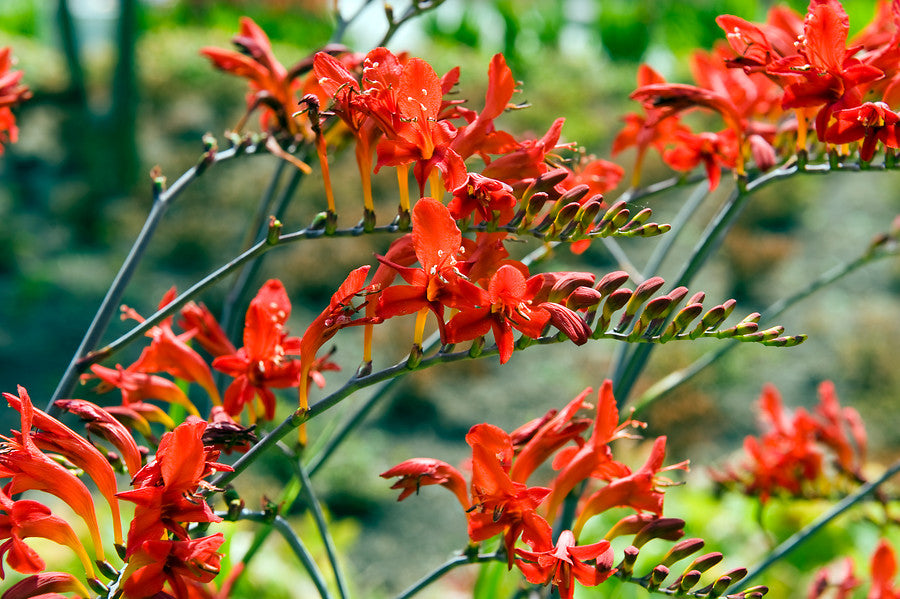 Red flowering crocosmia