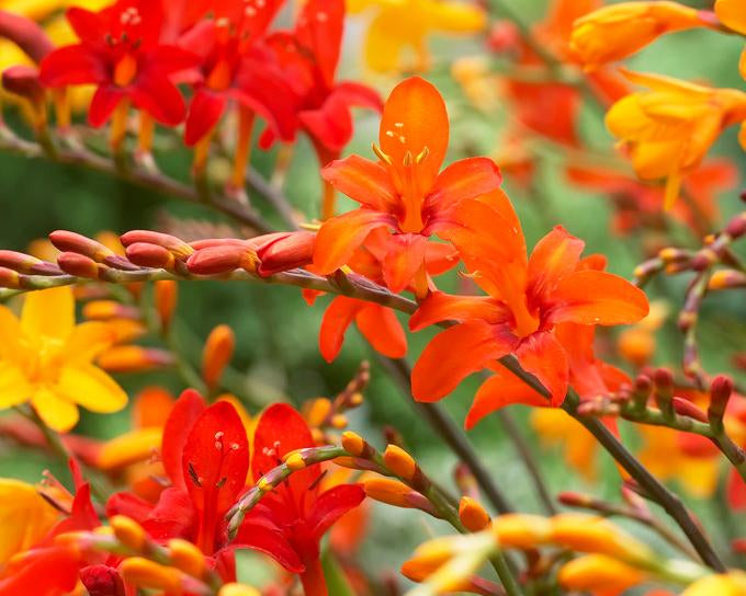 Mixed Crocosmias