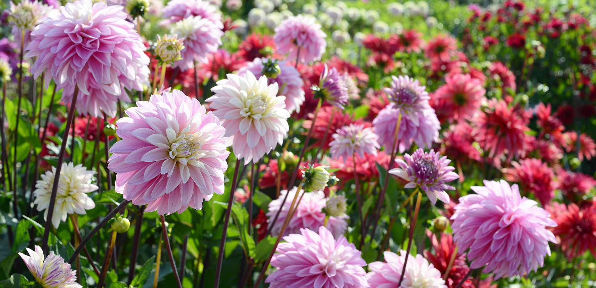 Flowering dahlias in the field