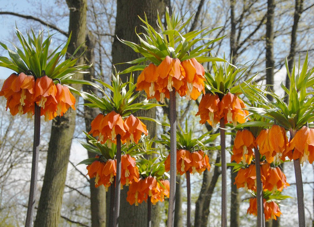 Orange Crown Imperial Bulbs