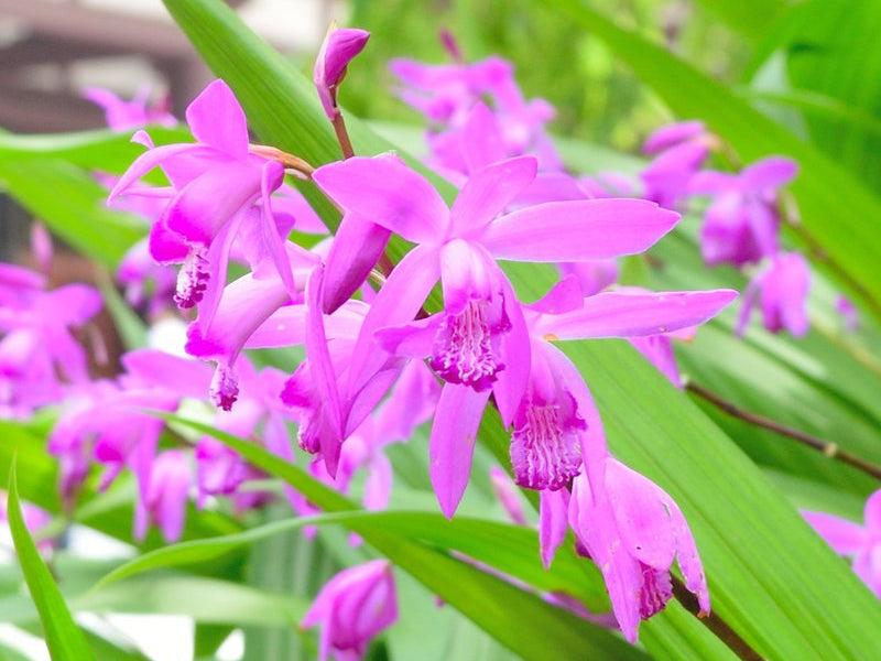 Hardy Ground Orchid Flower
