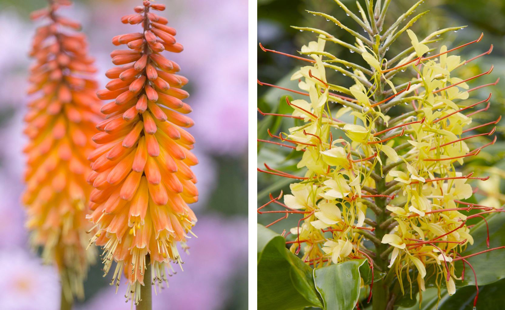 Hedychium and Red Hot Poker