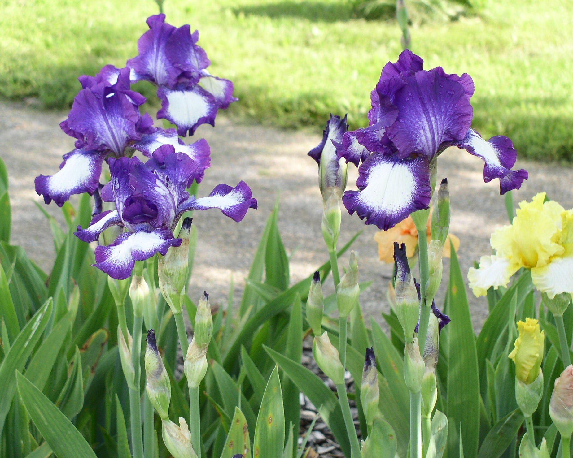 Bearded Iris Strong Versatile Summer Garden Classic Farmer
