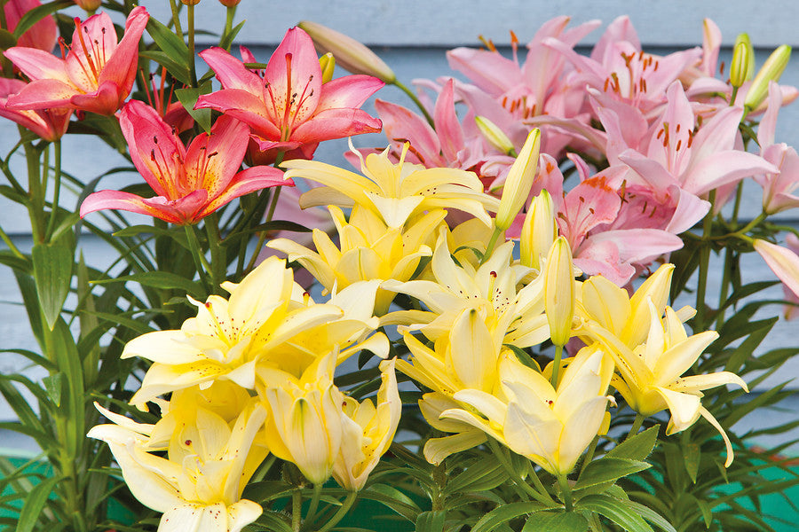 Lily Bulbs UK