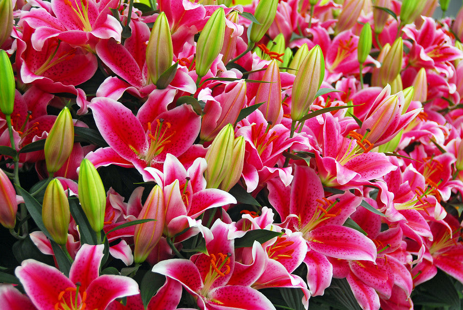 Pink Lily Bulbs