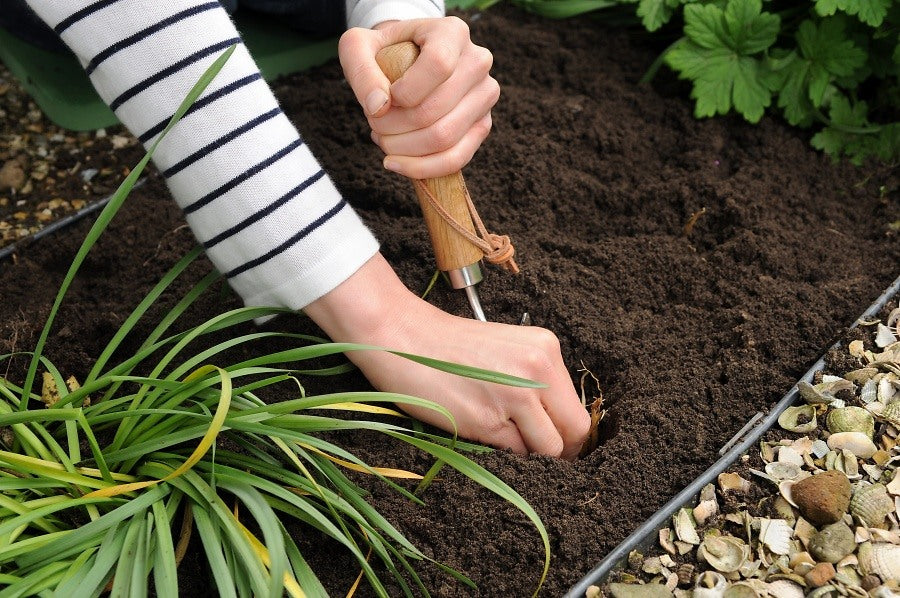 Planting Lily Bulbs