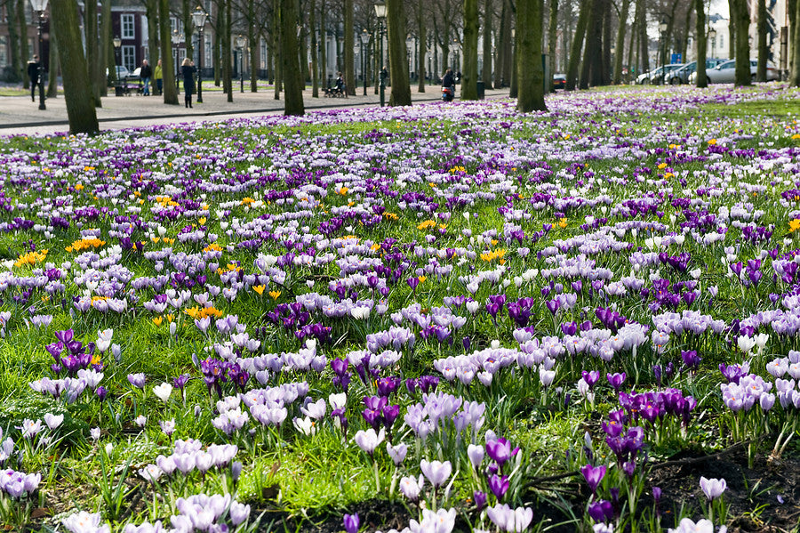 Crocuses in the wild