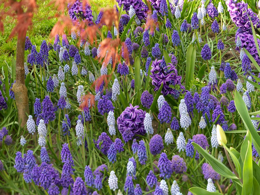 Naturalized Grape Hyacinths