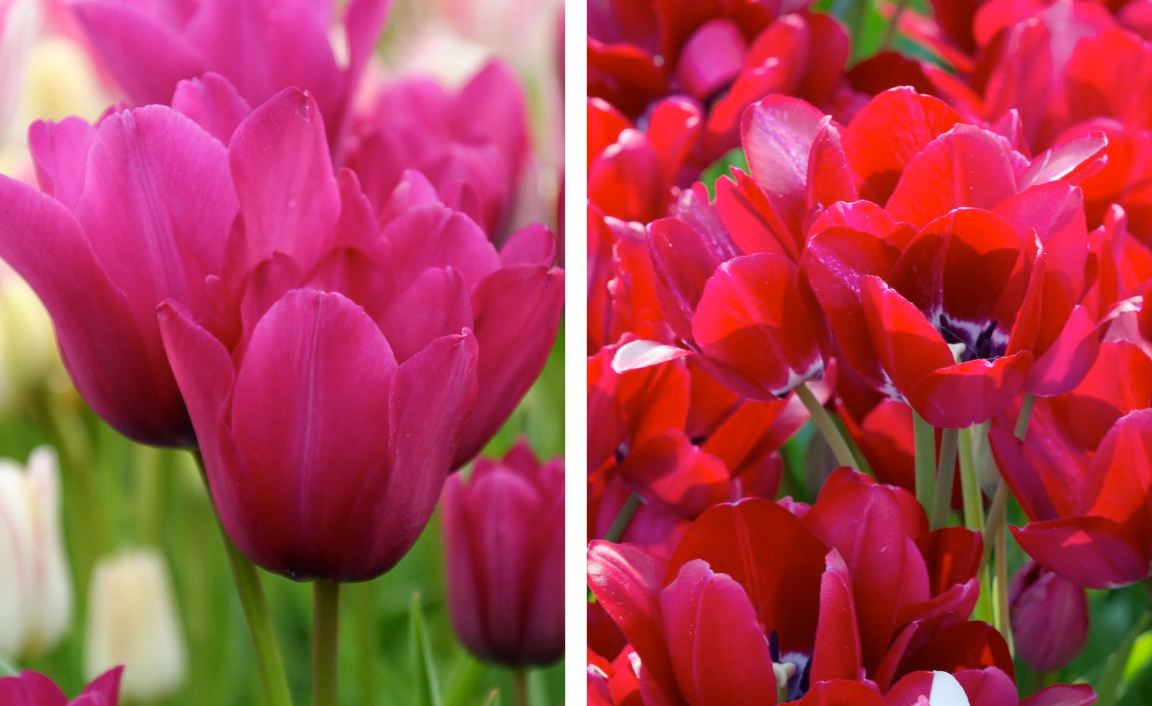 Multi-flowering tulip bulbs