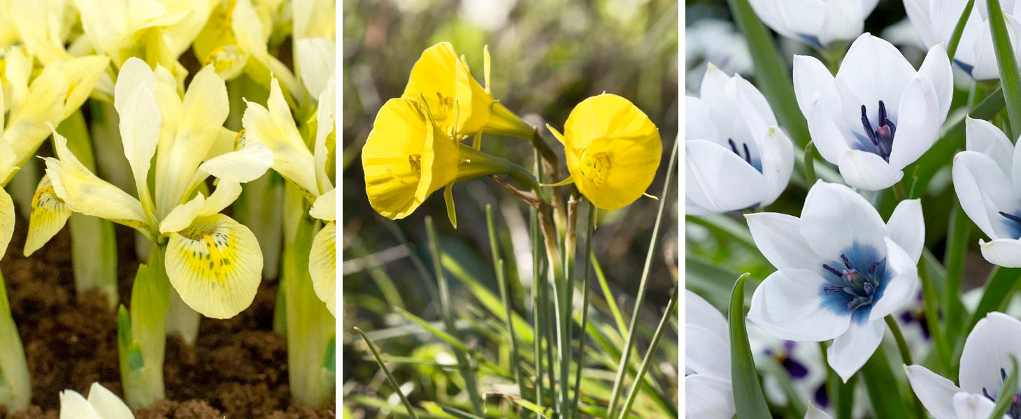 flower bulbs online