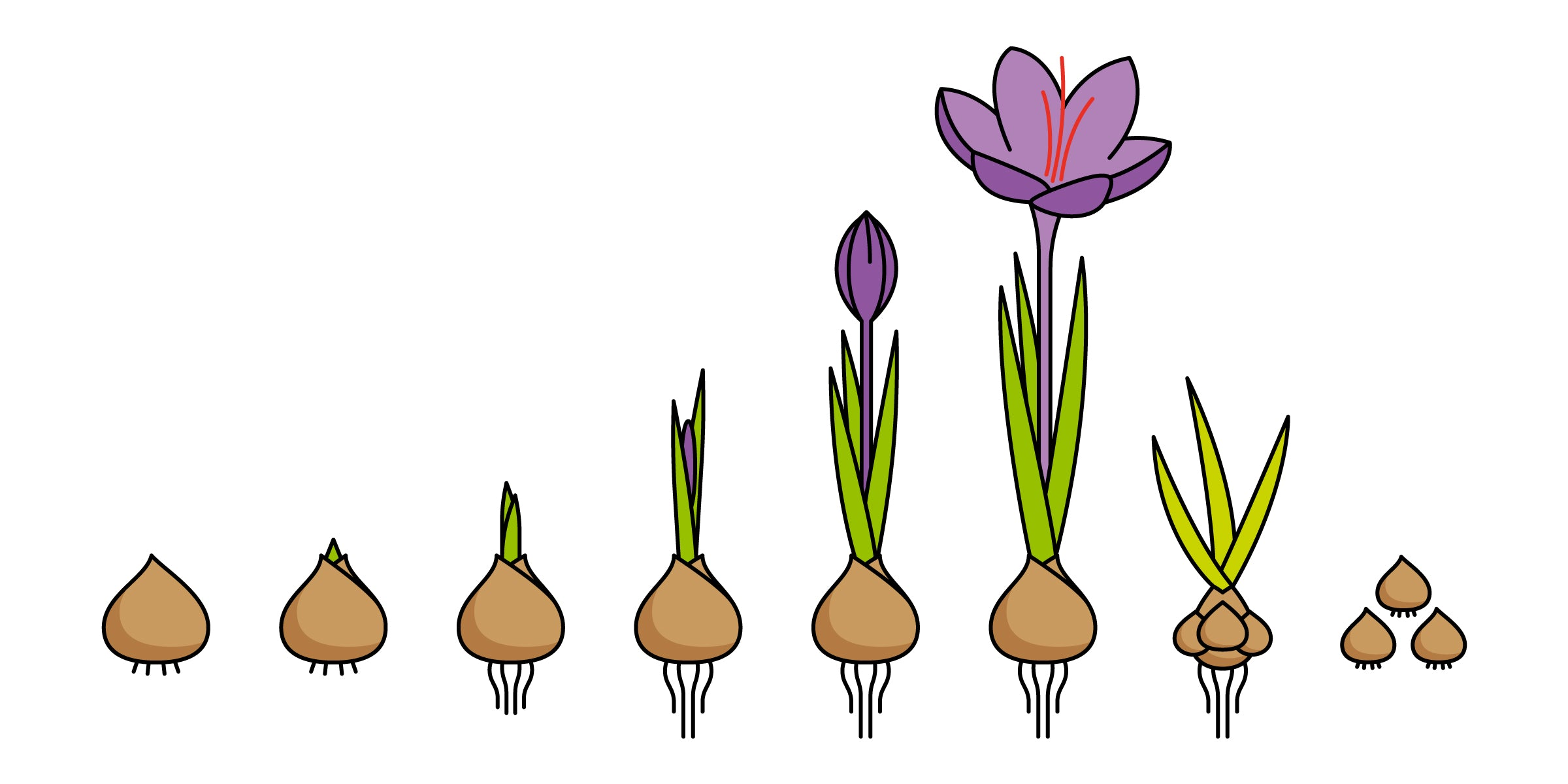 Saffron Crocus sativus reproduction