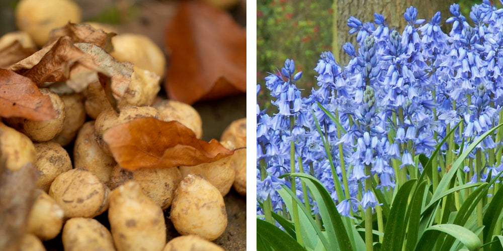 bluebells bulbs