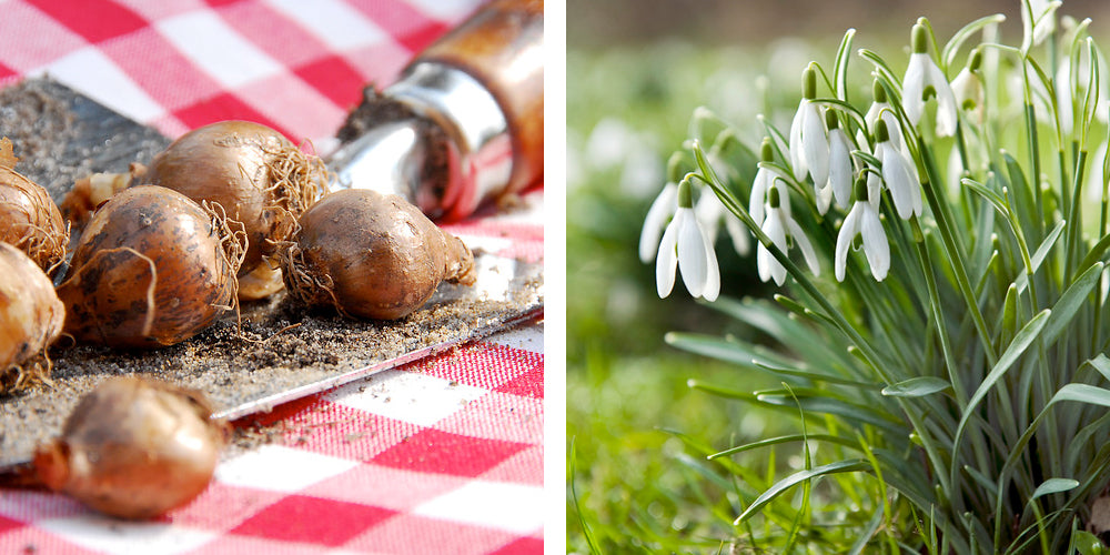 snowdrops bulbs