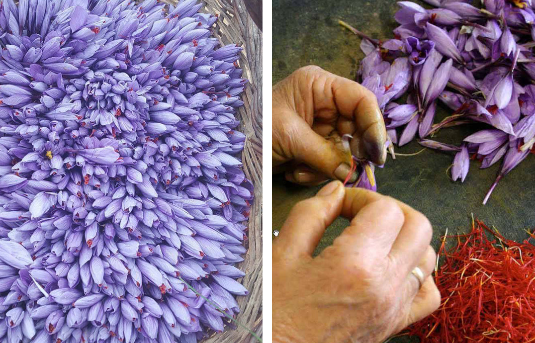 Picking Crocus sativus stigmas