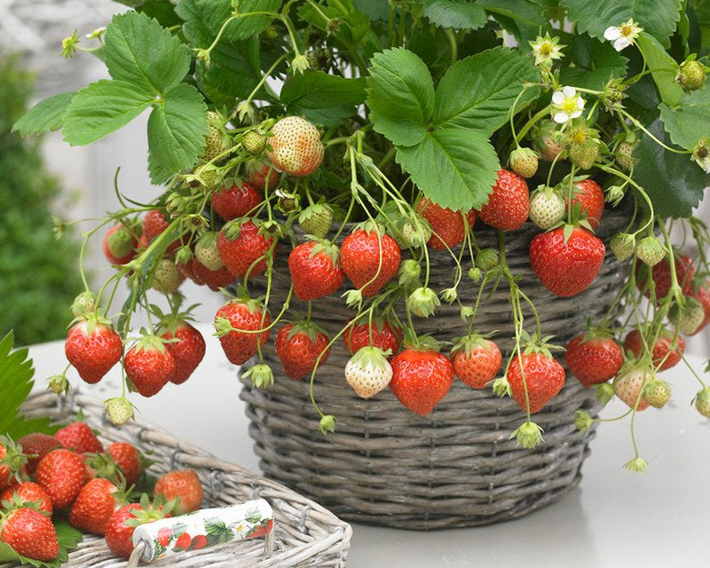 Bare Root Strawberry Plants UK