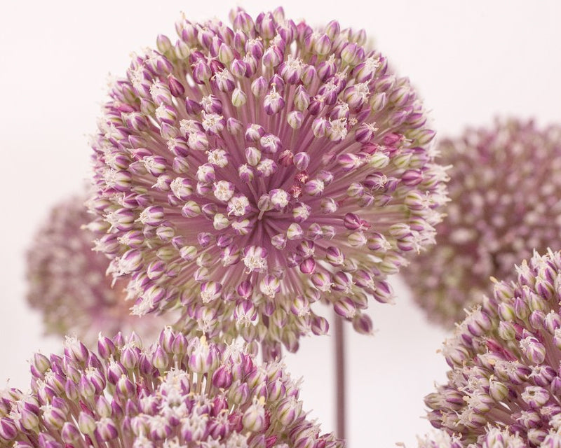 Giant alliums