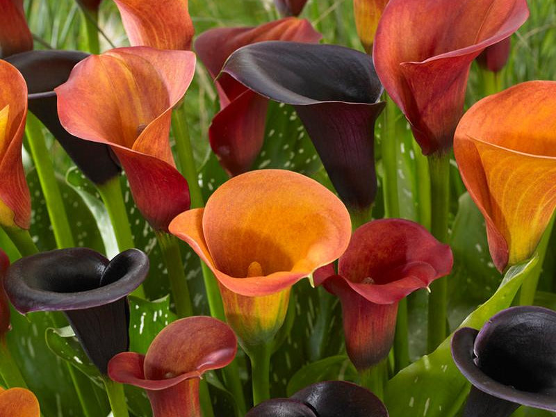 Calla Tiger Collection