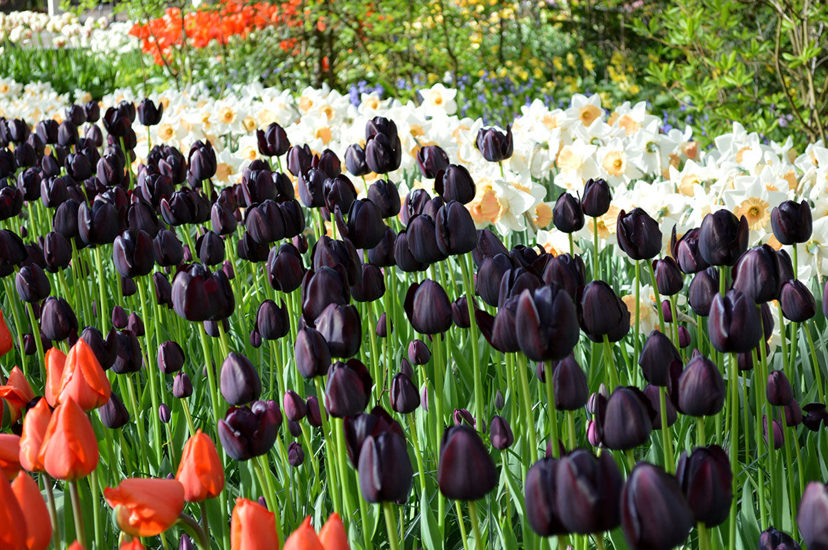 Tulip Queen of Night Bulbs