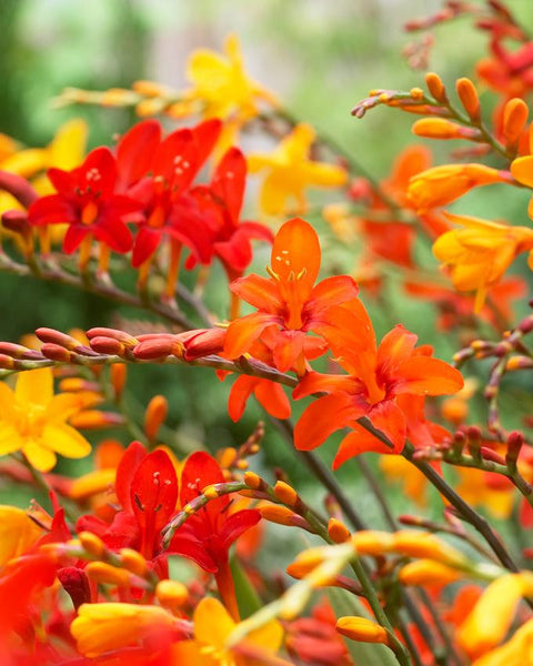 Crocosmia Mixed Colours