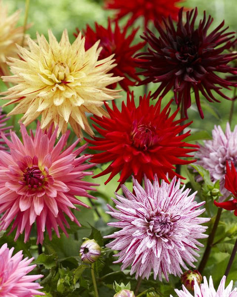 Dahlia Collection Cactus Mixed