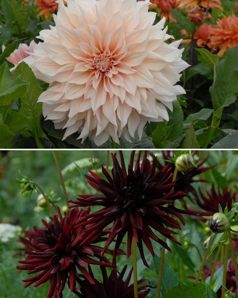 Dahlia Collection Coffee at Midnight