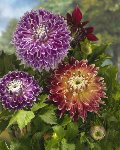 Dahlia Collection Cuba Libre