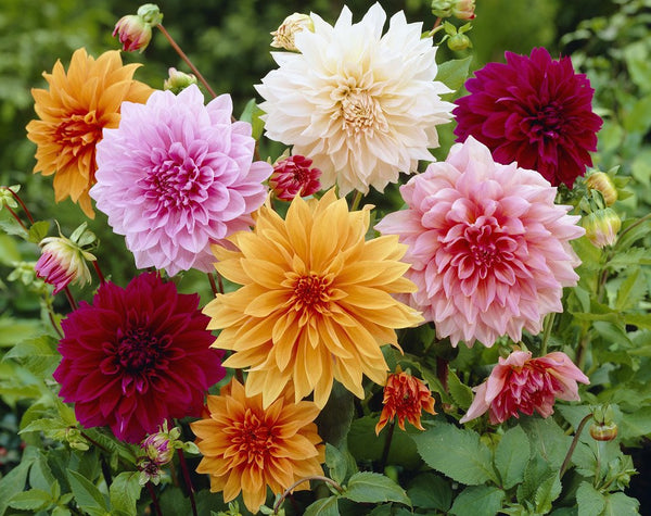 Dahlia Collection Decorative Mixed