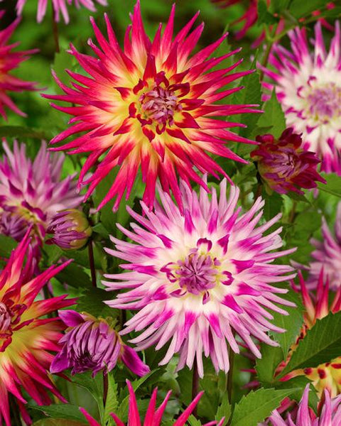 Dahlia Collection Fireworks