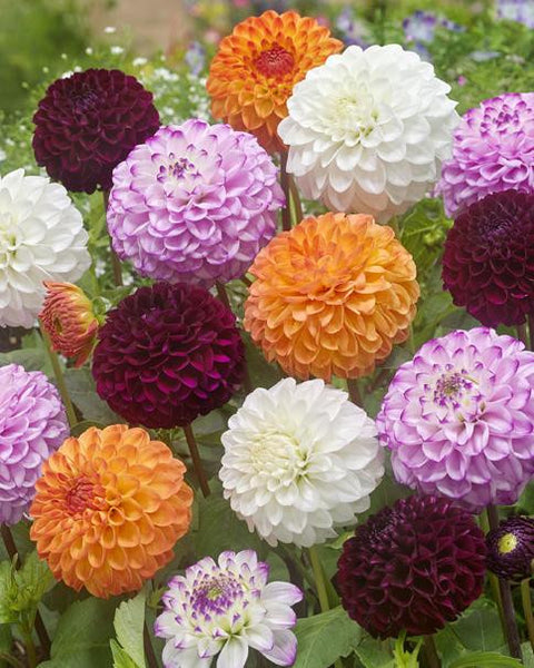 Dahlia Collection Pompon Mixed