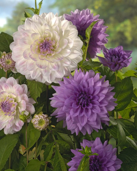 Dahlia Collection Sarasota Joy