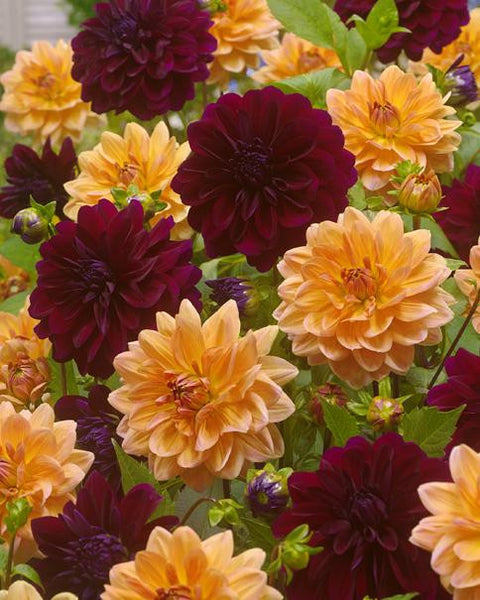 Dahlia Collection Sticky Toffee