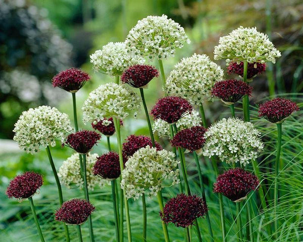 Allium Collection Abbey Road