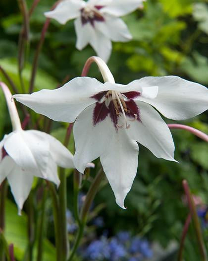 Acidanthera murielae