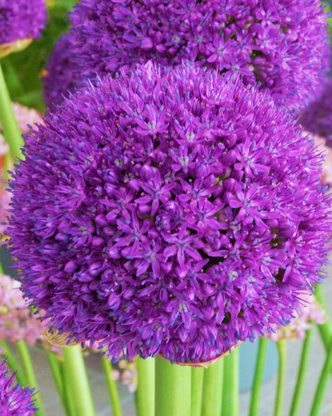 Flower BulbsAmbassador Bulbs UK - 1