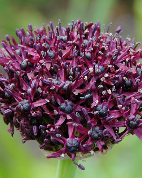 Flower BulbsAtropurpureum Bulbs UK - 1