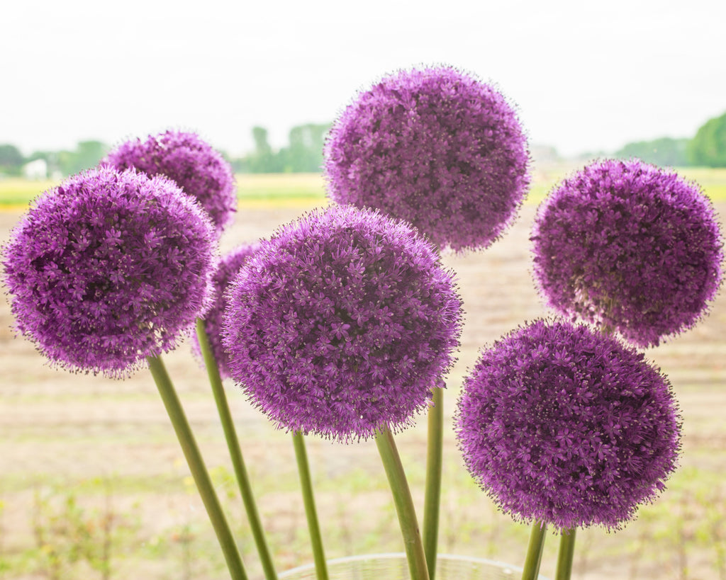 Buy Allium Gladiator