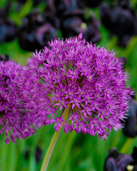 Flower BulbsPurple Sensation Bulbs UK - 1