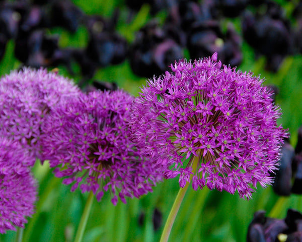 Flower BulbsPurple Sensation Bulbs UK - 4