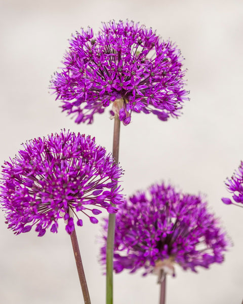 Flower BulbsPurple Sensation Bulbs UK - 3